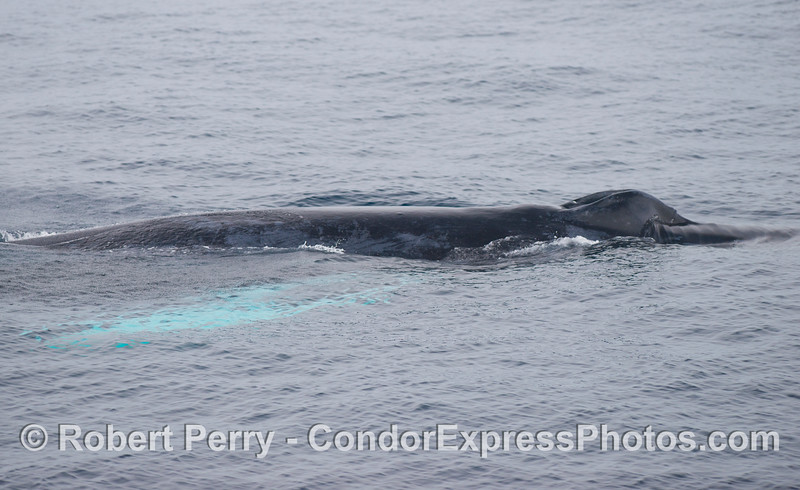 A close look at a a humpback whale (<em>Megaptera novaeangliae</em>) with long white pectoral fins.