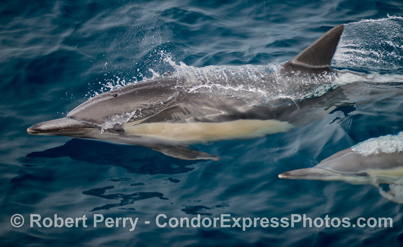 A close look at a long-beaked common dolphin (<em>Delphinus capensis</em>).
