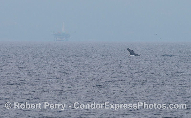 A humpback whale (<em>Megaptera novaeangliae</em>) breaching in the distance.