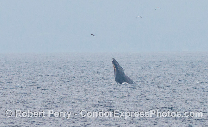 A humpback whale (<em>Megaptera novaeangliae</em>) breaching.