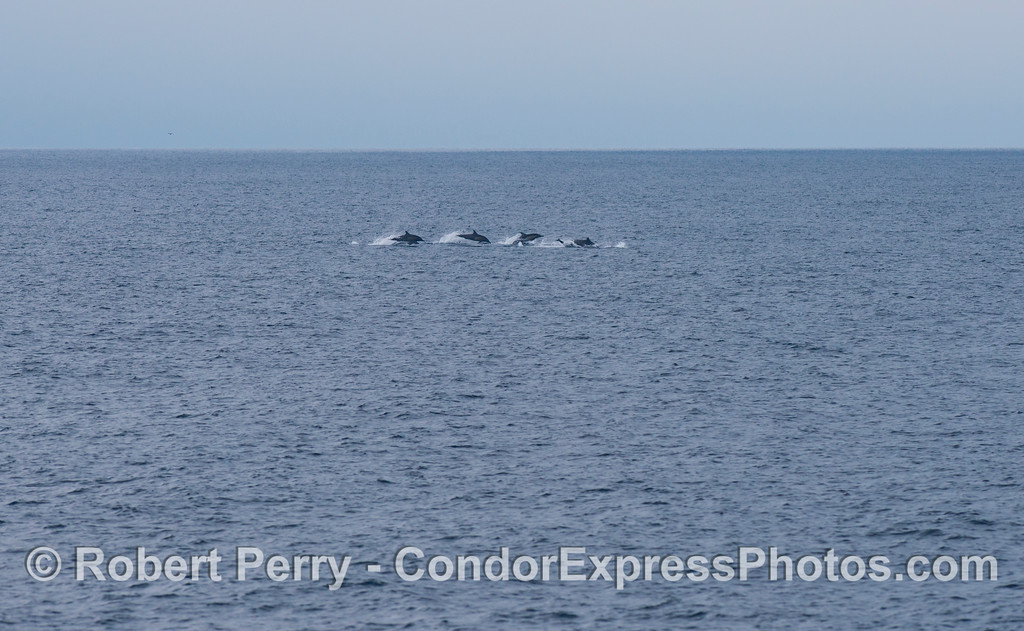 A small herd of long-beaked common dolphins (<em>Delphinus capensis</em>) on the move.