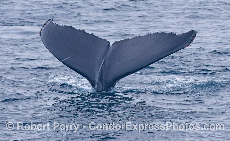 A humpback whale (<em>Megaptera novaeangliae</em>) shows its flukes.