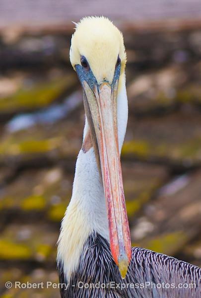 Brown pelican (<em>Pelecanus occidentalis</em>).