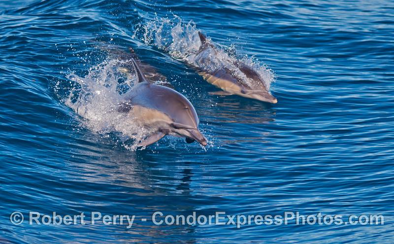 Delphinus capensis 2012 10-28 SB Channel-037