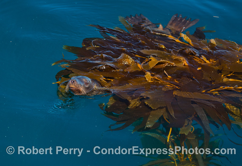Zalophus californianus under Macrocystis paddy 2012 10-28 SB Channel-031
