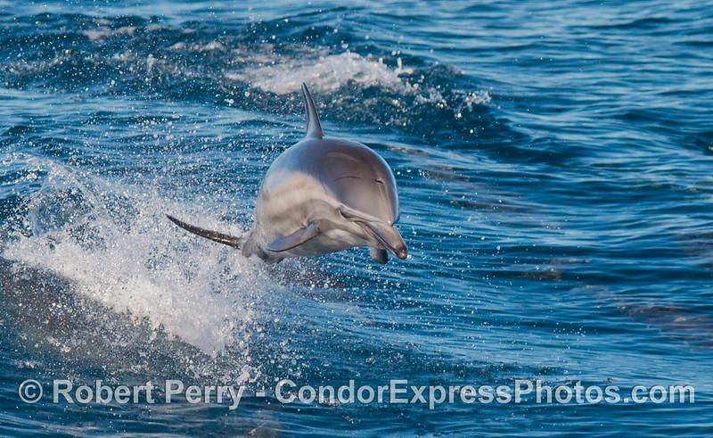 Delphinus capensis 2012 10-28 SB Channel-081