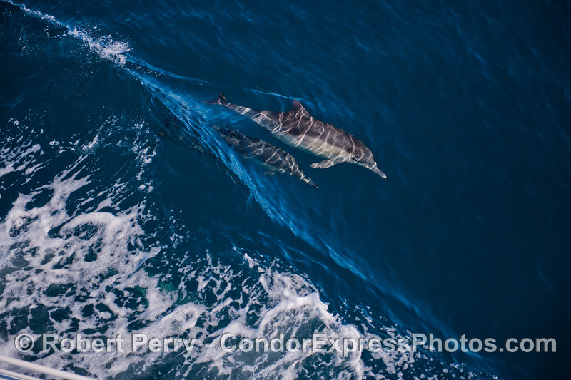Delphinus capensis 2012 10-28 SB Channel-a-003