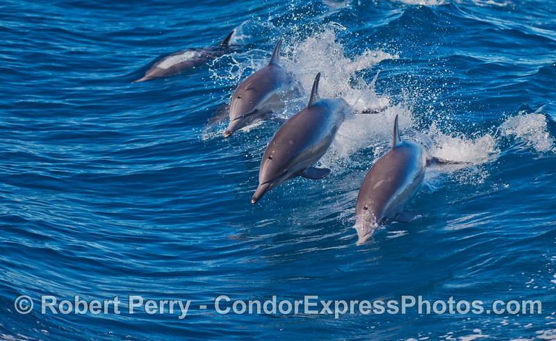Delphinus capensis 2012 10-28 SB Channel-142