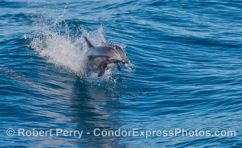Delphinus capensis 2012 10-28 SB Channel-054