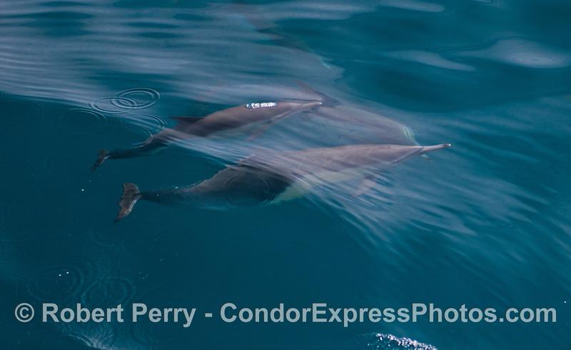 Long-beaked common dolphins (<em>Delphinus capensis</em>) beneath the blue waves.