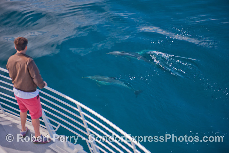 Condor Express people get a close up visit by some long-beaked common dolphins (<em>Delphinus capensis</em>).