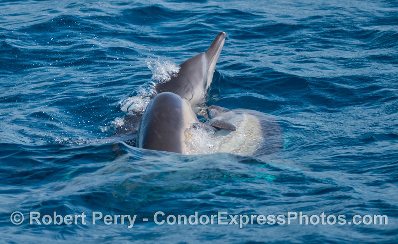 Long-beaked common dolphins (<em>Delphinus capensis</em>) socializing in a group.