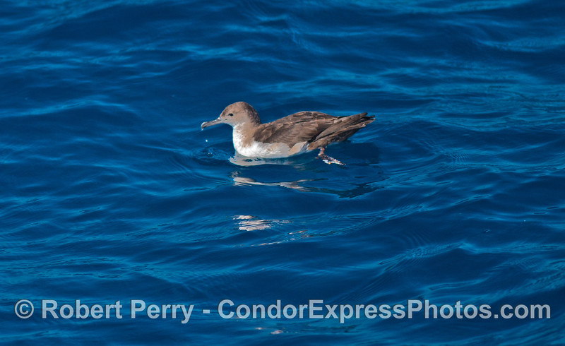 A black vented shearwater (<em>Puffinus opisthomelas</em>) sits on the water.