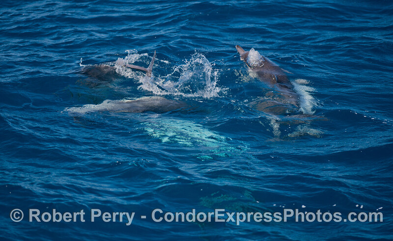 Group socializing - long-beaked common dolphins (<em>Delphinus capensis</em>).