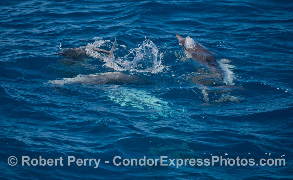 Group socializing - long-beaked common dolphins (<em>Delphinus capensis</em>).