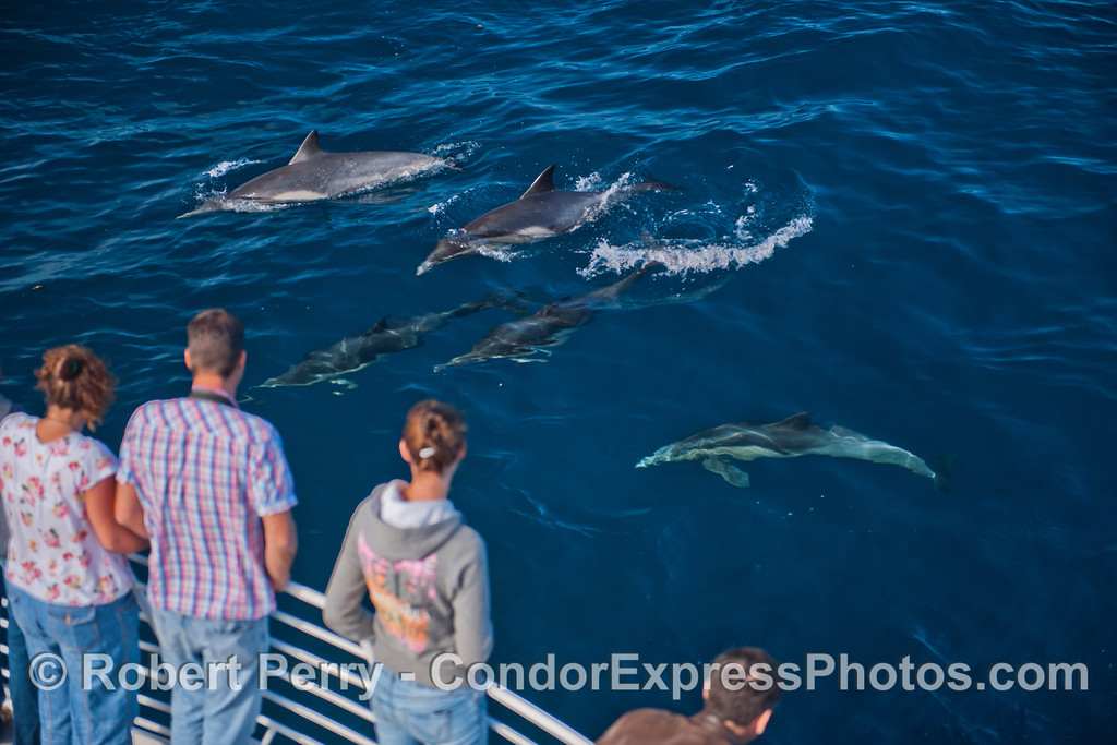 This group of long-beaked common dolphins (<em>Delphinus capensis</em>) were enjoying the people.