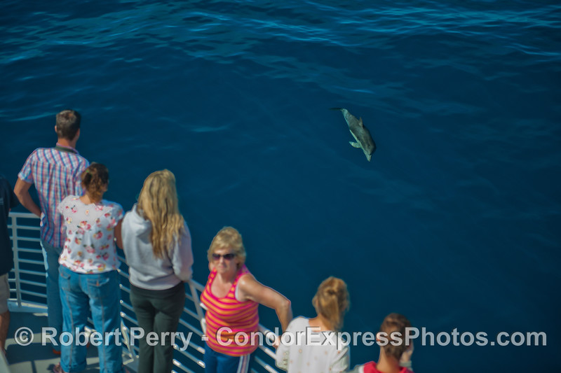 A curious long-beaked common dolphin (<em>Delphinus capensis</em>) comes over to see the Condor Express people.
