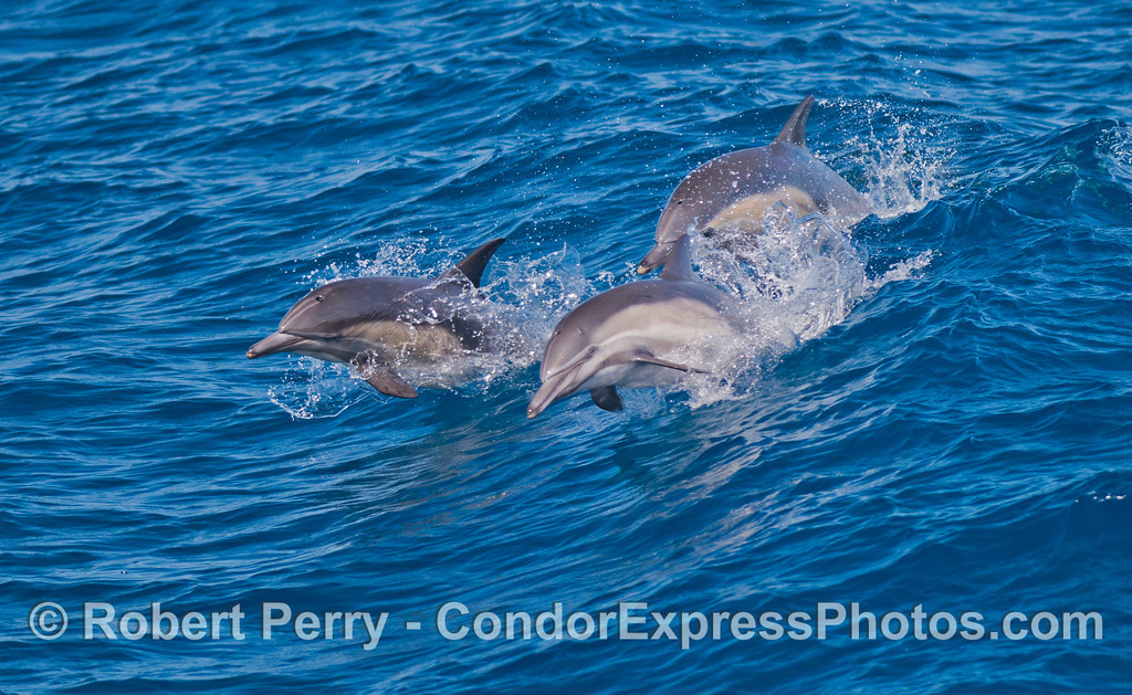 Three long-beaked common dolphins (<em>Delphinus capensis</em>) leap over the waves.