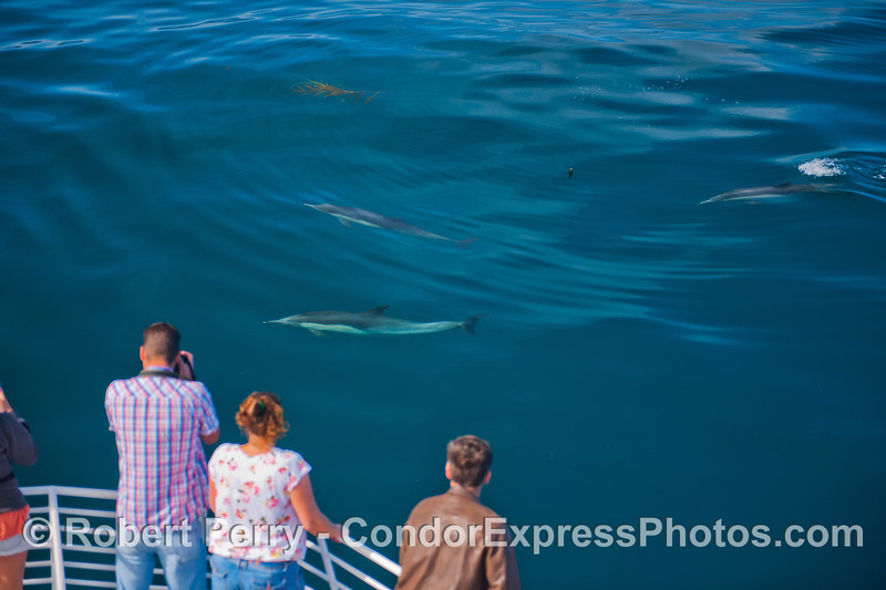 Again we see Condor Express people getting a friendly visit from long-beaked common dolphins (<em>Delphinus capensis</em>).