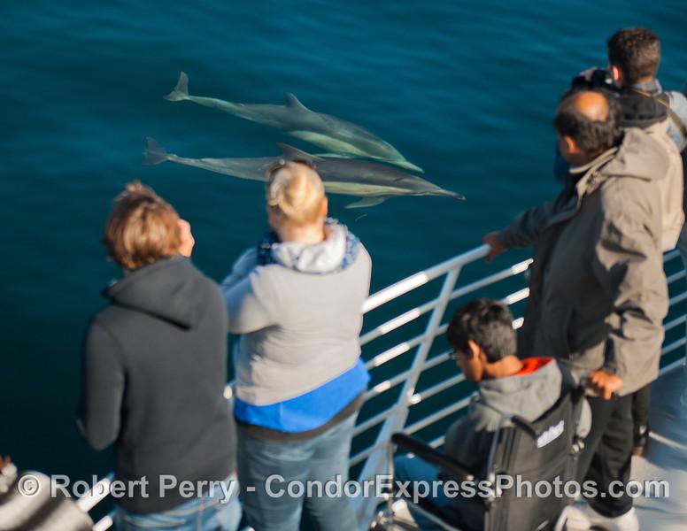 Delphinus capensis & passengers 2012 11-23 SB Channel-165