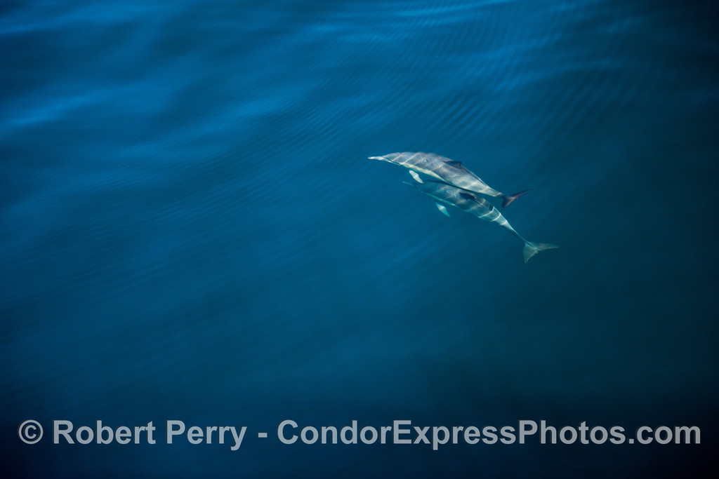 Delphinus capensis 2012 11-23 SB Channel-122