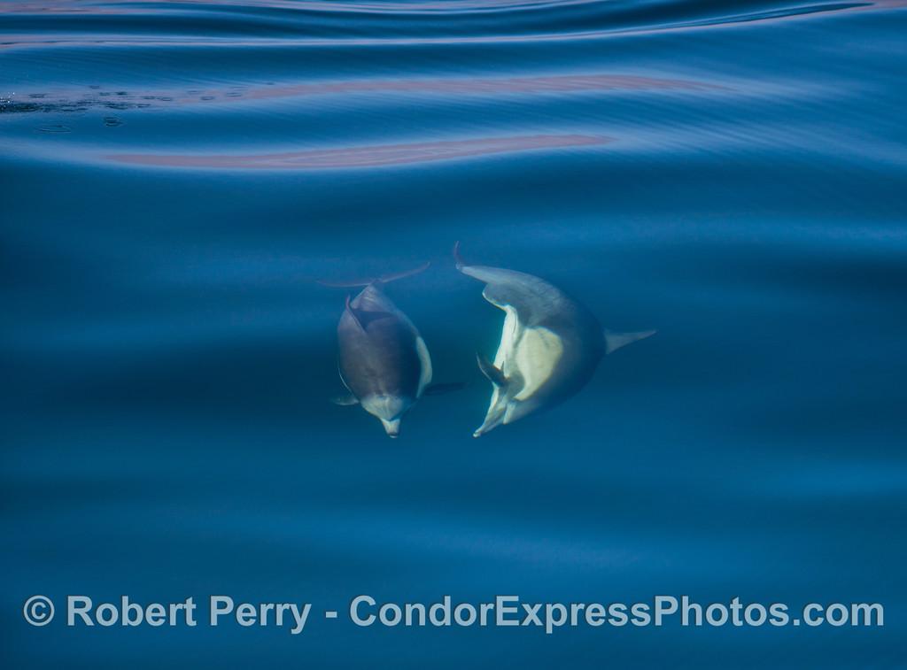 Delphinus capensis 2012 11-23 SB Channel-092