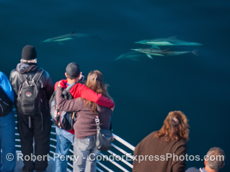 Delphinus capensis 2012 11-23 SB Channel-184