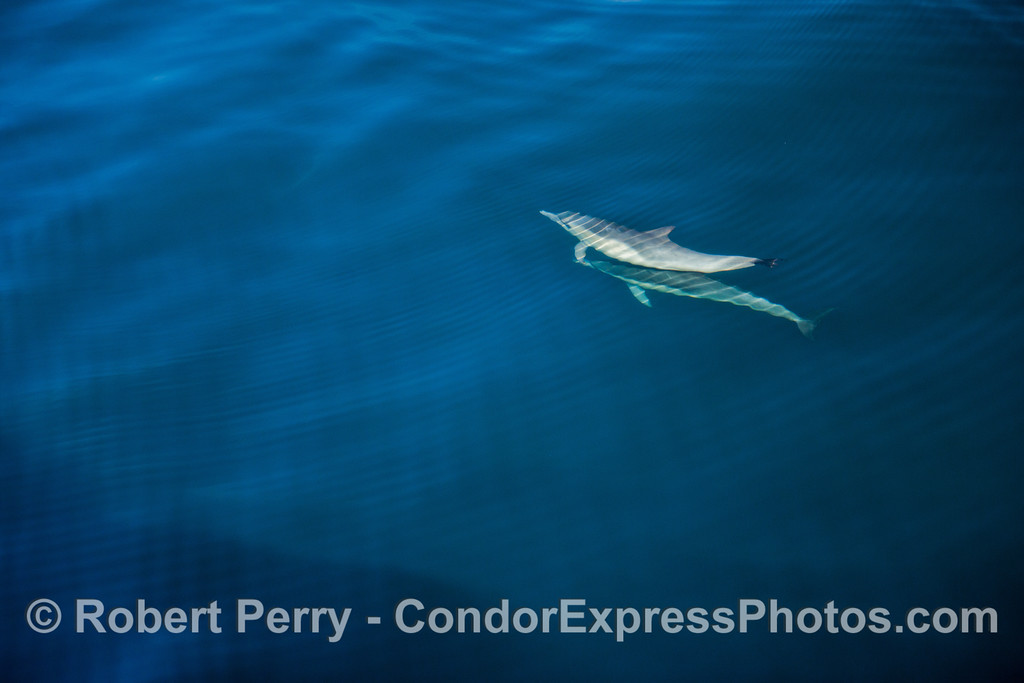 Delphinus capensis 2012 11-23 SB Channel-124