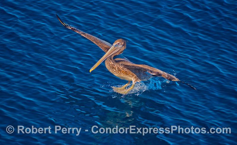 Pelecanus occidentalis on water 2012 11-23 SB Channel-002