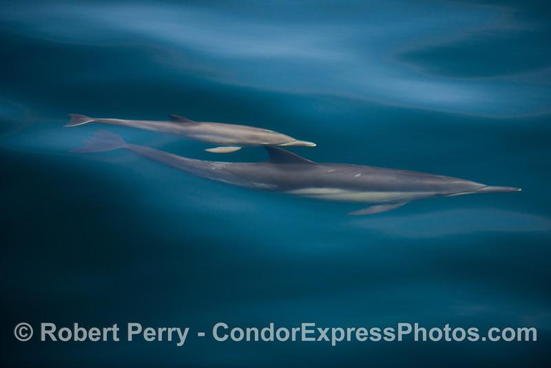 Delphinus capensis  cow & calf 2012 11-23 SB Channel-017