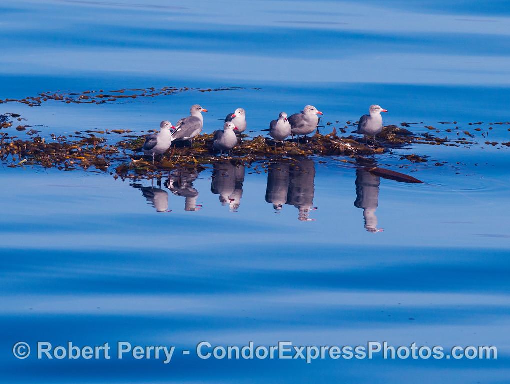 Larus heermanni on Macrocystis drift paddy 2012 11-23 SB Channel-010