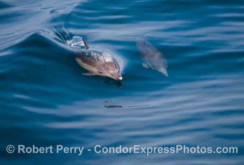 Delphinus capensis  cow & calf 2012 11-23 SB Channel-019