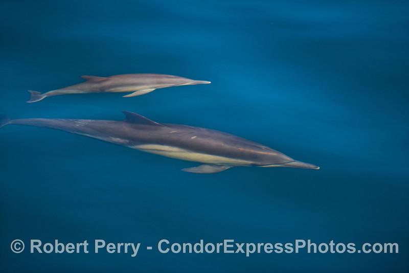 Delphinus capensis  cow & calf 2012 11-23 SB Channel-003