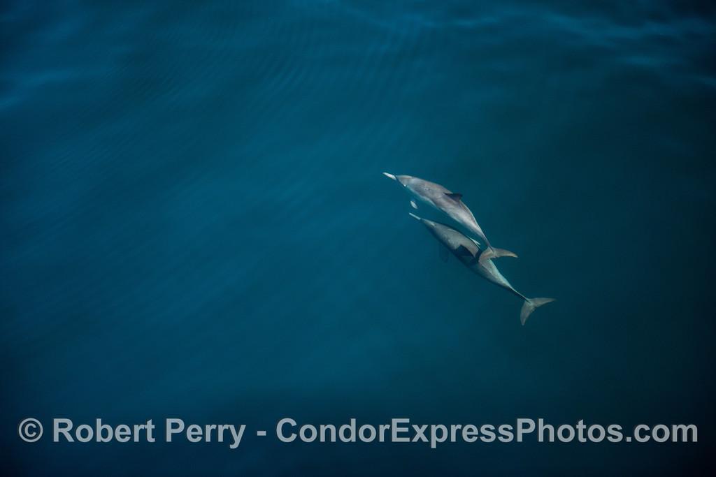 Delphinus capensis 2012 11-23 SB Channel-119