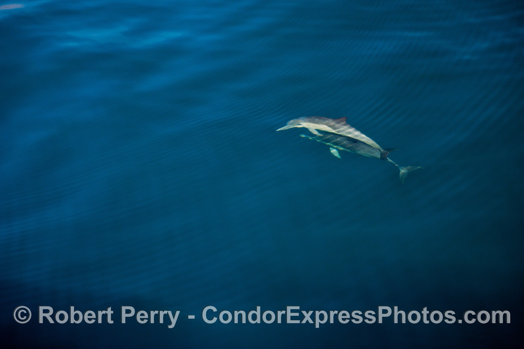 Delphinus capensis 2012 11-23 SB Channel-123