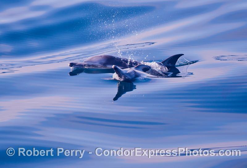 Delphinus capensis 2012 11-23 SB Channel-101