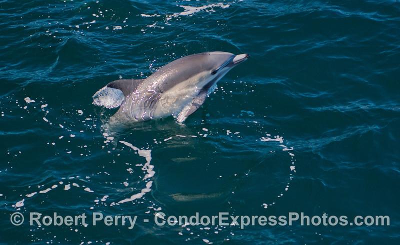 Leaping short beaked common dolphin (<em>Delphinus delphis</em>).