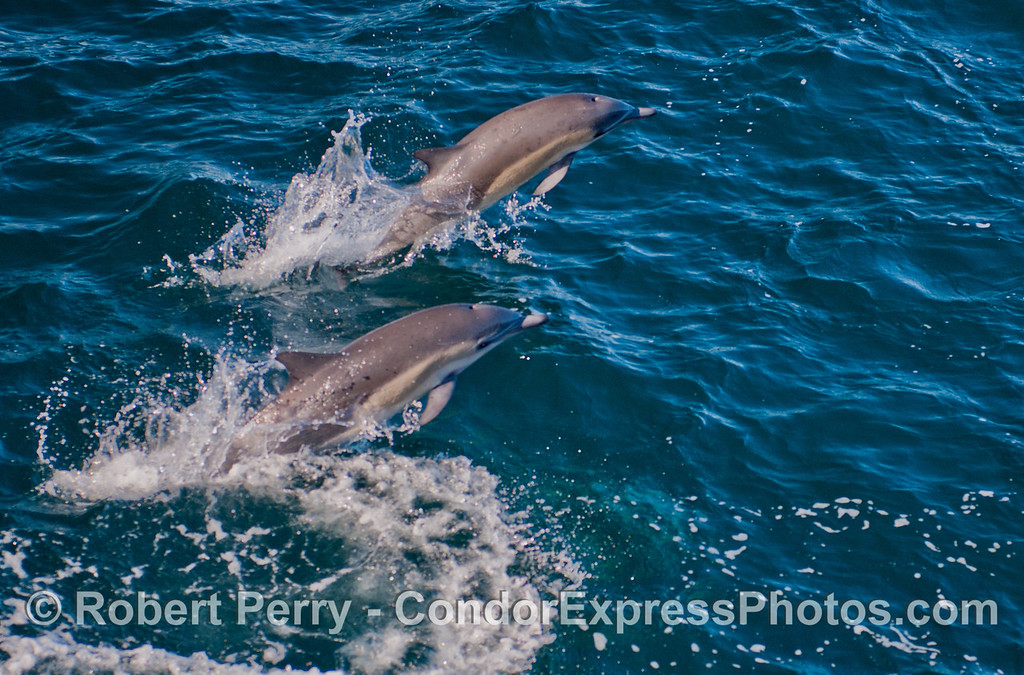 Side by side jumping short beaked common dolphins (<em>Delphinus delphis</em>).