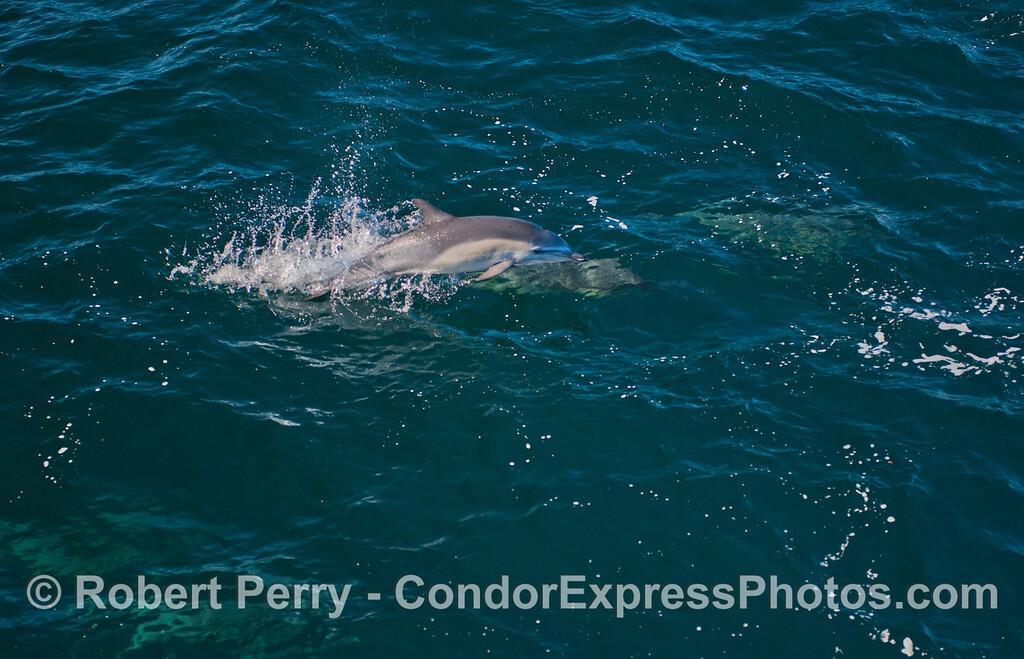 Jumping short beaked common dolphin (<em>Delphinus delphis</em>).