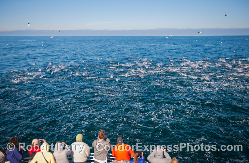 Condor Express people get a first hand look at a massive herd of short beaked common dolphins (<em>Delphinus delphis</em>).