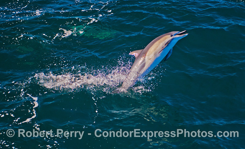 Image 2 of 2:  a short beaked common dolphin (<em>Delphinus delphins</em>) takes a leap.  This is the close up view.  The previous image in this series is a wide view of the same shot.