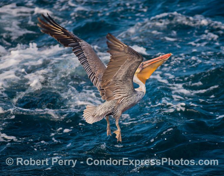 A brown pelican (<em>Pelecanus occidentalis</em>) with a mouth full of anchovies.