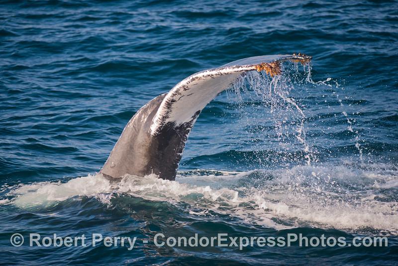 The massive all white tail of Jack Frost, the humpback whale (<em>Megaptera novaeangliae</em>), creates a water fall.