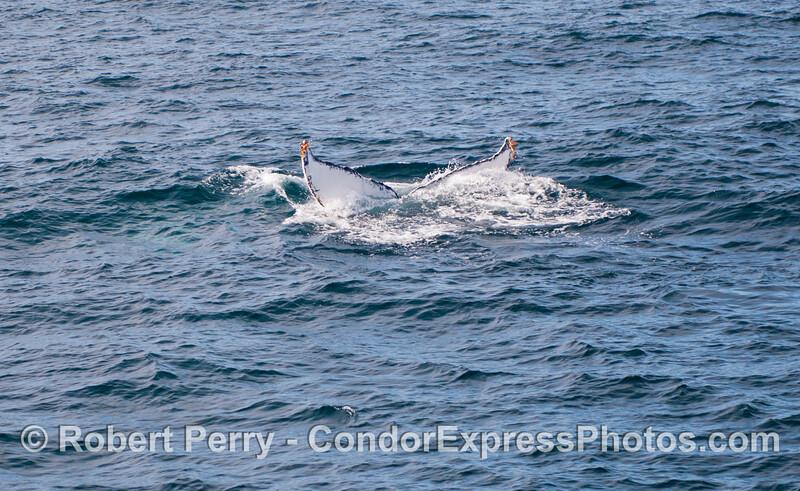 Jack Frost the humpback whale (<em>Megaptera novaeangliae</em>) dives deep.