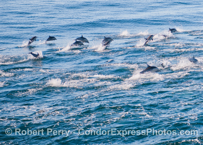 Short beaked common dolphins (<em>Delphinus delphis</em>) leap in unison.