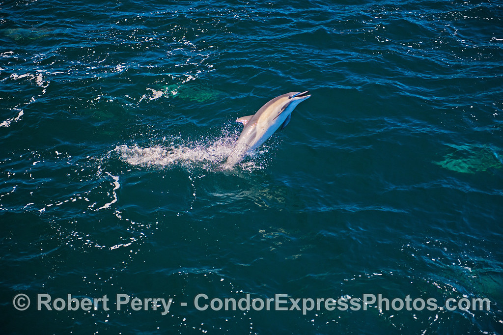 Image 1 of 2:  a short beaked common dolphin (<em>Delphinus delphins</em>) takes a leap.  This is the wide view.  The next image in this series is a close view of the same shot.