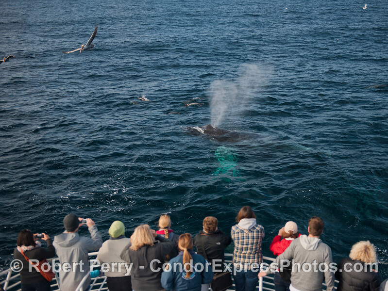 Jack the humpback (<em>Megaptera novaengliae</em>) sends up a tall spout right in front of the Condor Express and is accompanied by several long beaked common dolphins (<em>Delphinus capensis</em>).