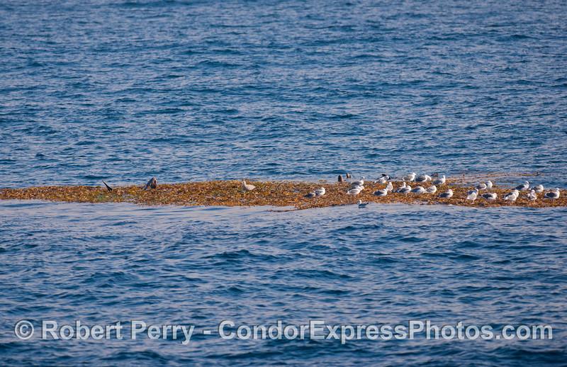 A freely drifting open ocean giant kelp debris paddy (<em>Macrocystis pyrifera</em>) hosts numerous California sea lions (<em>Zalophus californianus</em>) and a flock of gulls (<em>Larus</em> sp.).