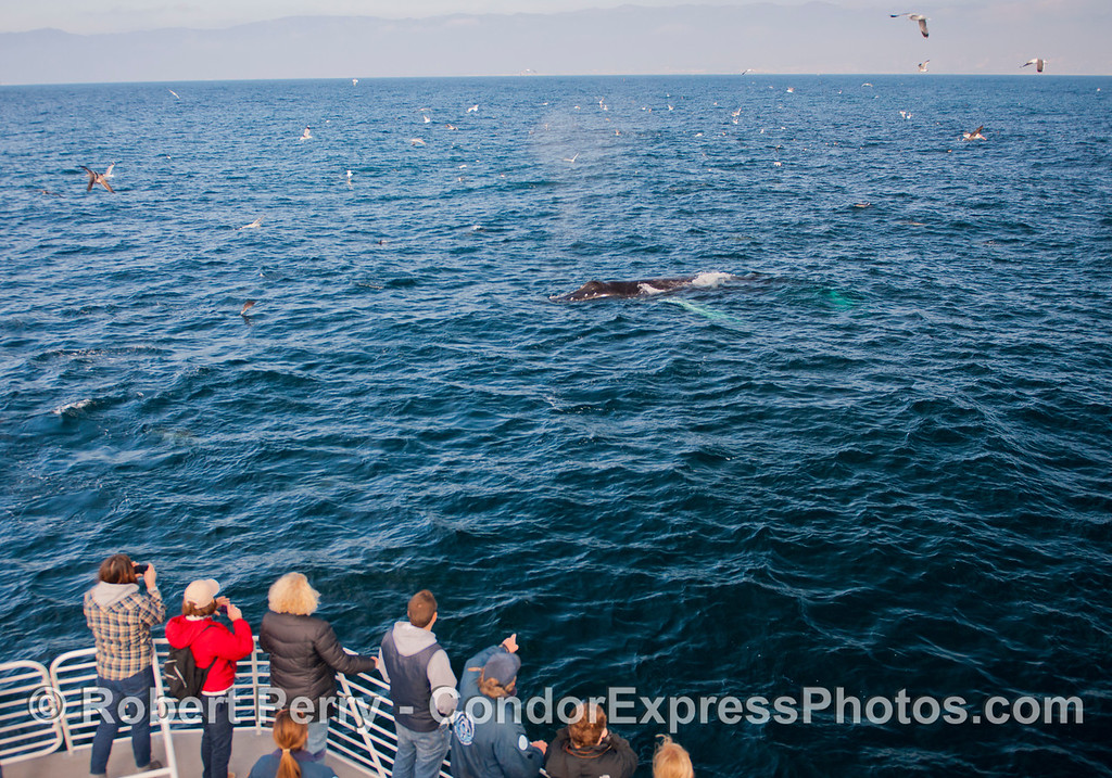 Jack the humpback (<em>Megaptera novaeangliae</em>) takes a look at the people.  CINC naturalists Brian and Anna are seen on deck.