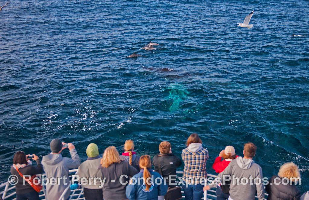 Condor Express people get a wonderful look at Jack the humpback (<em>Megaptera novaengliae</em>) accompanied by several long beaked common dolphins (<em>Delphinus capensis</em>).